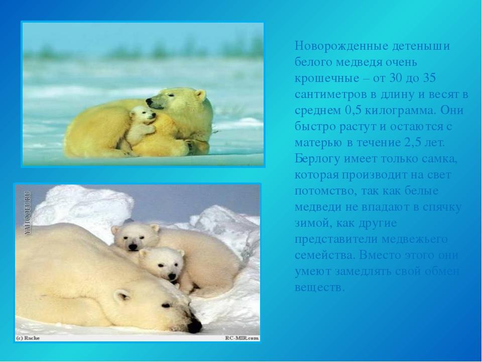 Новорожденные детеныши белого медведя очень крошечные – от 30 до 35 сантиметр...