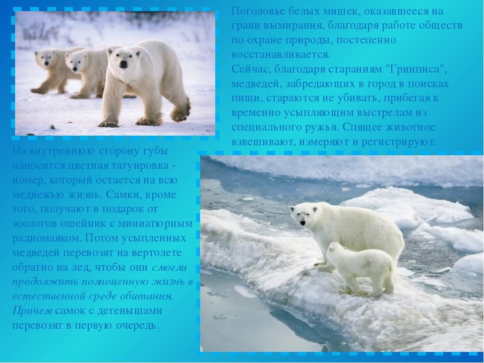Поголовье белых мишек, оказавшееся на грани вымирания, благодаря работе общес...