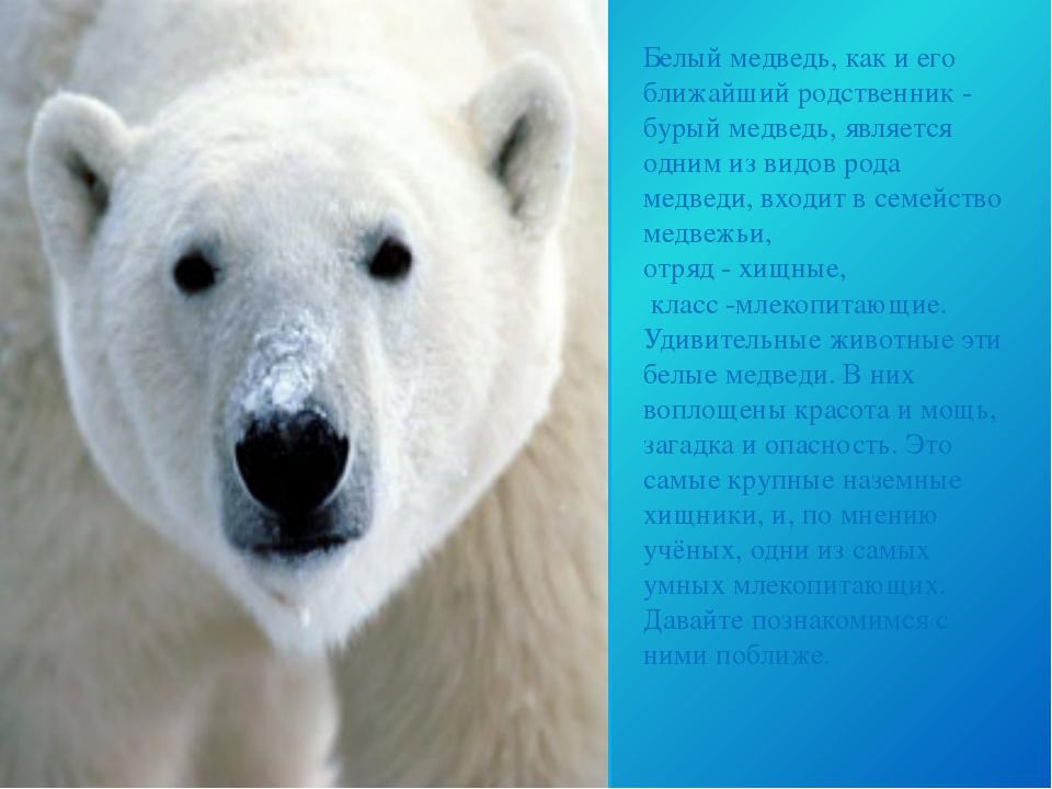 Белый медведь, как и его ближайший родственник - бурый медведь, является одни...