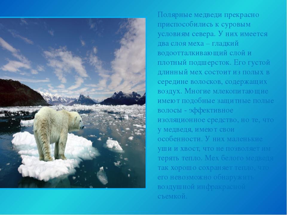 Полярные медведи прекрасно приспособились к суровым условиям севера. У них им...