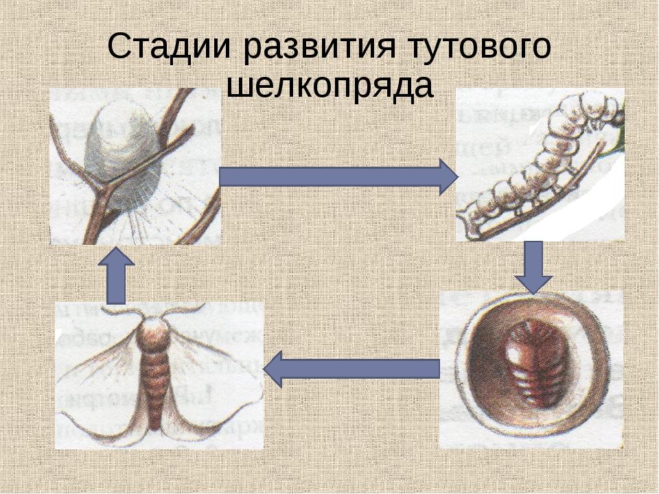 Стадии развития тутового шелкопряда