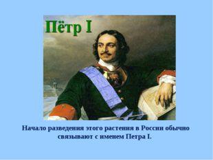 Начало разведения этого растения в России обычно связывают с именем Петра I.
