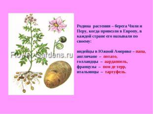 Родина растения – берега Чили и Перу, когда привезли в Европу, в каждой стран