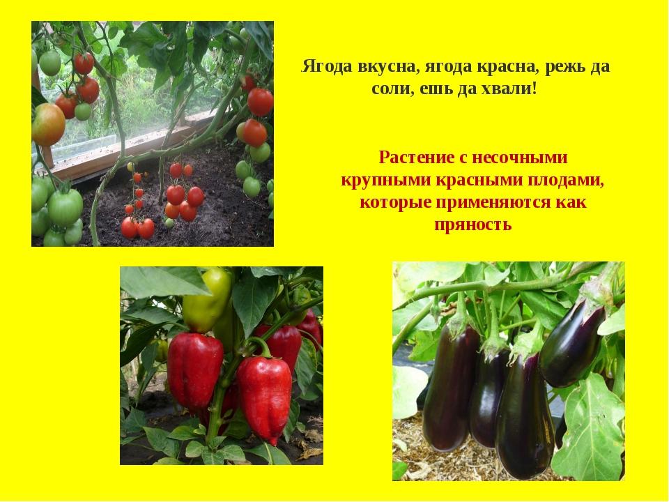 .Ягода вкусна, ягода красна, режь да соли, ешь да хвали! Растение с несочным...