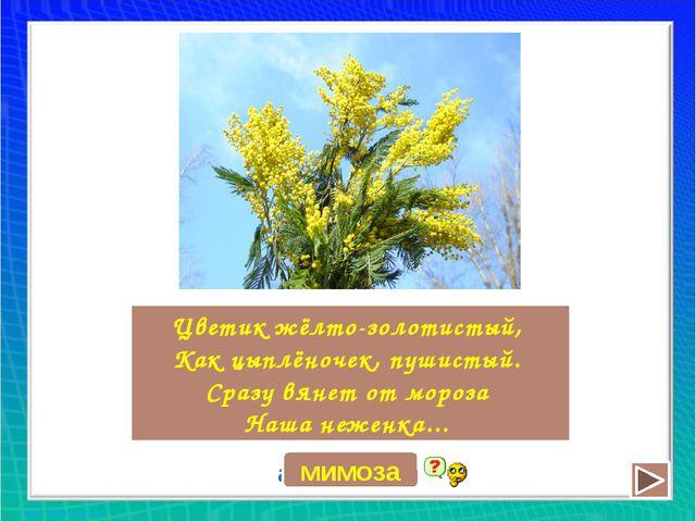 Цветик жёлто-золотистый, Как цыплёночек, пушистый. Сразу вянет от мороза Наша...
