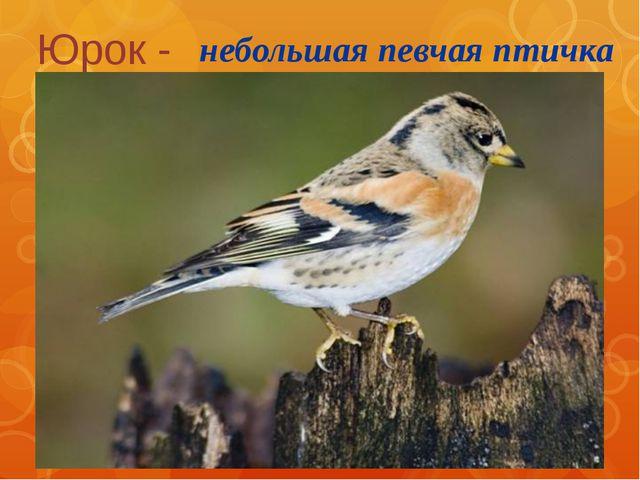 Юрок - небольшая певчая птичка