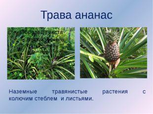 Трава ананас Наземные травянистые растения с колючимстеблем и листьями.