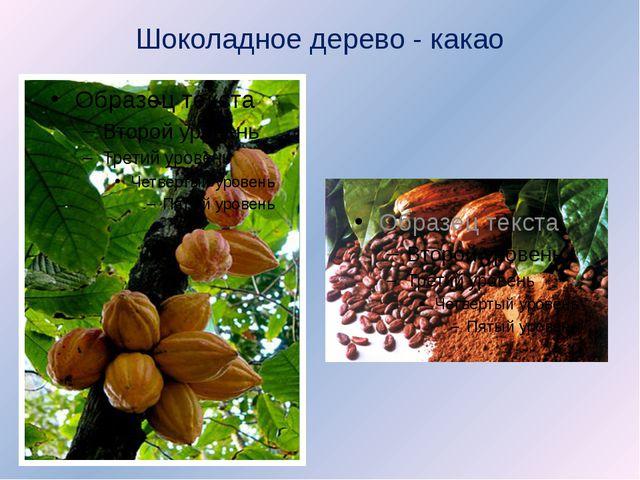 Шоколадное дерево - какао