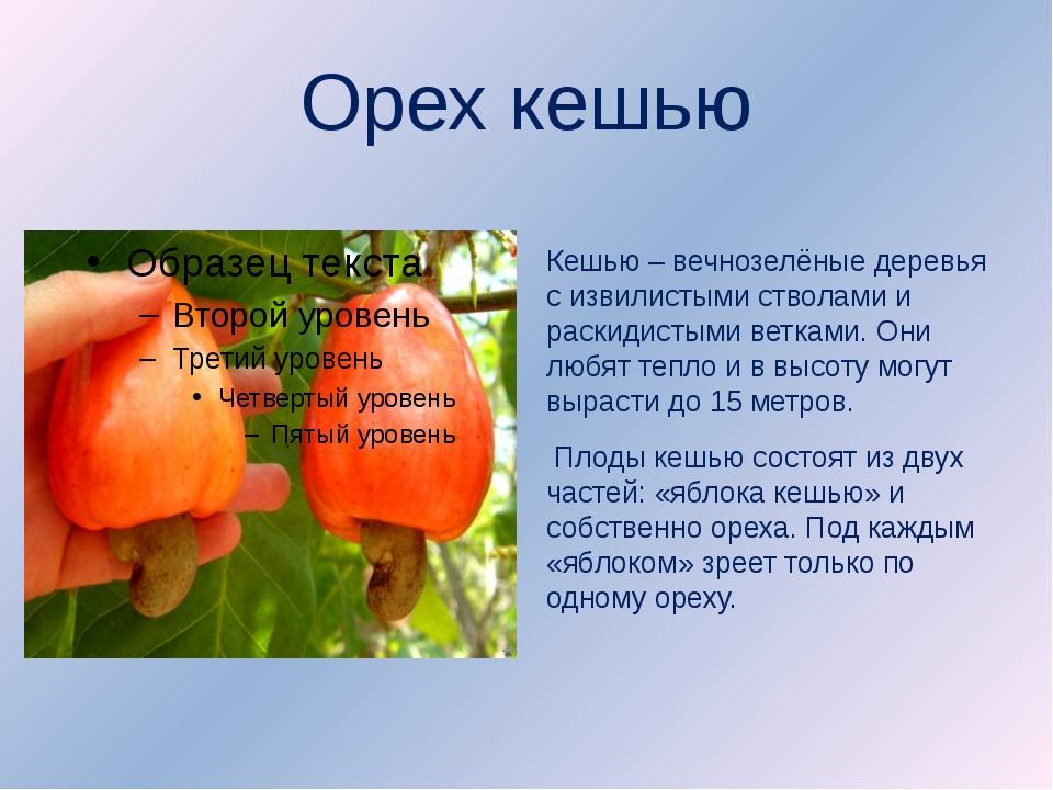 Орех кешью Кешью – вечнозелёные деревья с извилистыми стволами и раскидистыми...