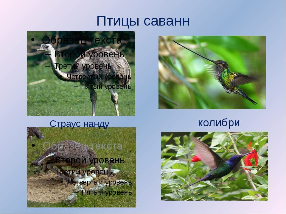 Птицы саванн Страус нанду колибри