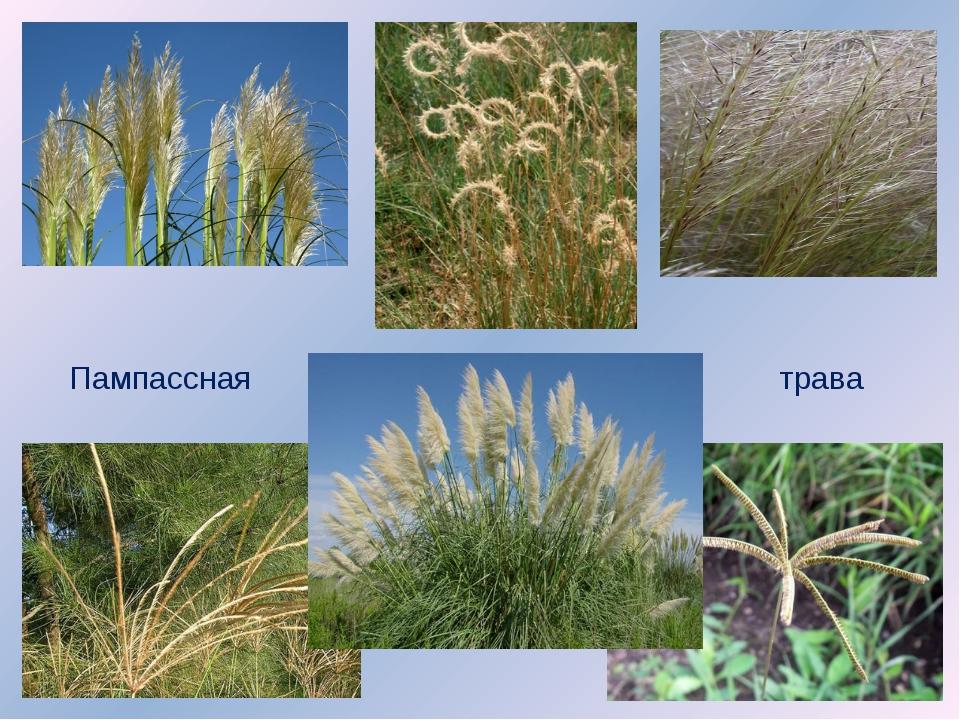 Пампассная трава