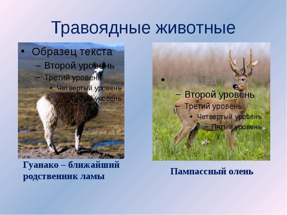 Травоядные животные Гуанако – ближайший родственник ламы Пампассный олень