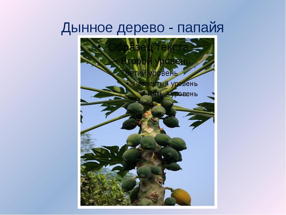 Дынное дерево - папайя