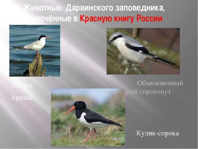Животные Дарвинского заповедника, включённые в Красную книгу России Малая кра...