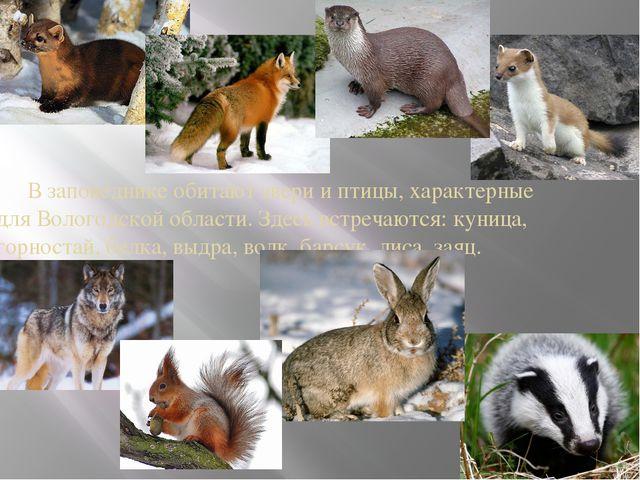 В заповеднике обитают звери и птицы, характерные для Вологодской области. Зд...