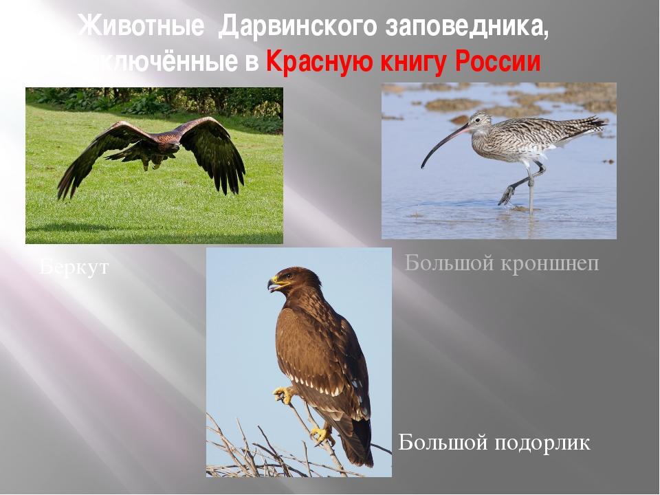 Животные Дарвинского заповедника, включённые в Красную книгу России Беркут Бо...
