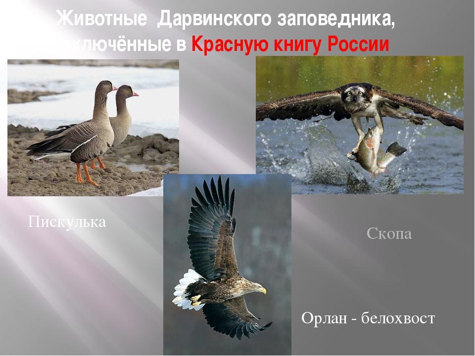 Животные Дарвинского заповедника, включённые в Красную книгу России Пискулька...