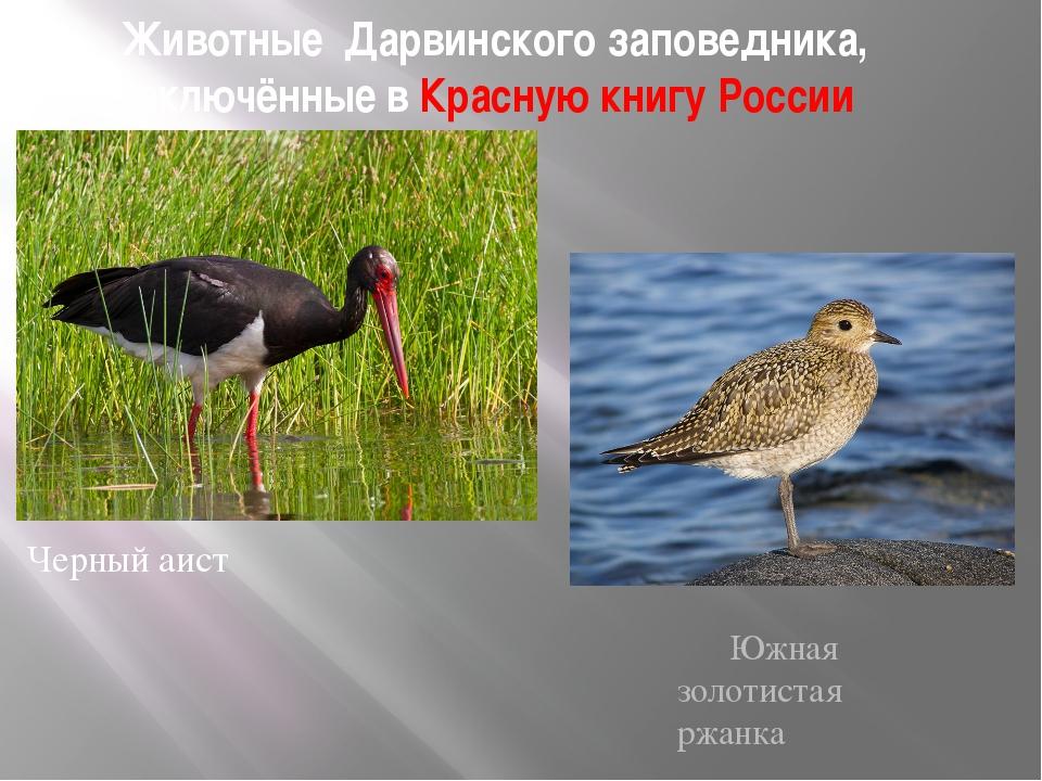 Животные Дарвинского заповедника, включённые в Красную книгу России Черный аи...