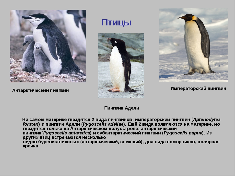Птицы На самом материке гнездятся 2 вида пингвинов:императорский пингвин(Ap...