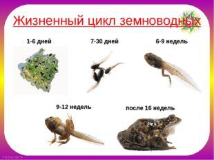 Жизненный цикл земноводных 1-6 дней 7-30 дней 6-9 недель 9-12 недель после 16