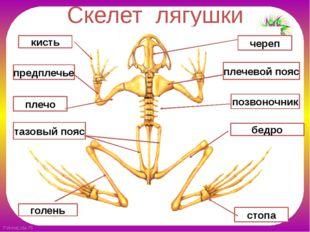 Скелет лягушки позвоночник череп плечевой пояс плечо предплечье кисть бедро т