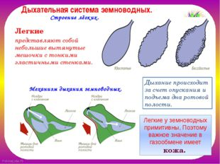Дыхательная система земноводных. Легкие представляют собой небольшие вытянут