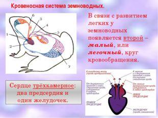 Кровеносная система земноводных. В связи с развитием легких у земноводных поя