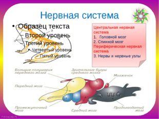 Нервная система Центральная нервная система Головной мозг 2. Спинной мозг Пер