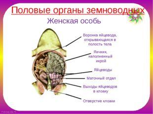Женская особь Воронка яйцевода, открывающаяся в полость тела Яичник, наполнен