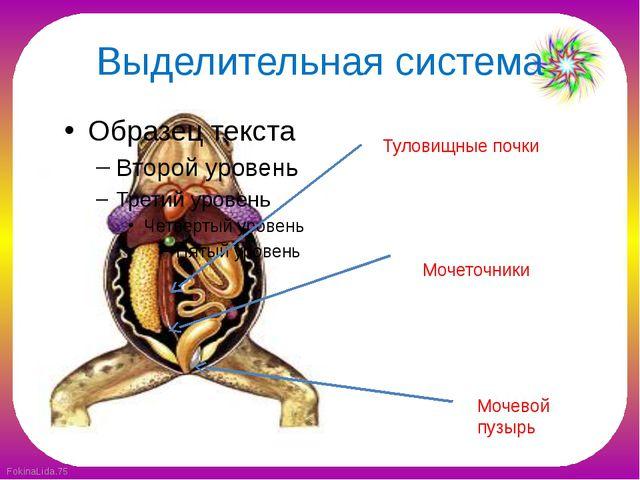 Выделительная система Туловищные почки Мочеточники Мочевой пузырь FokinaLida.75