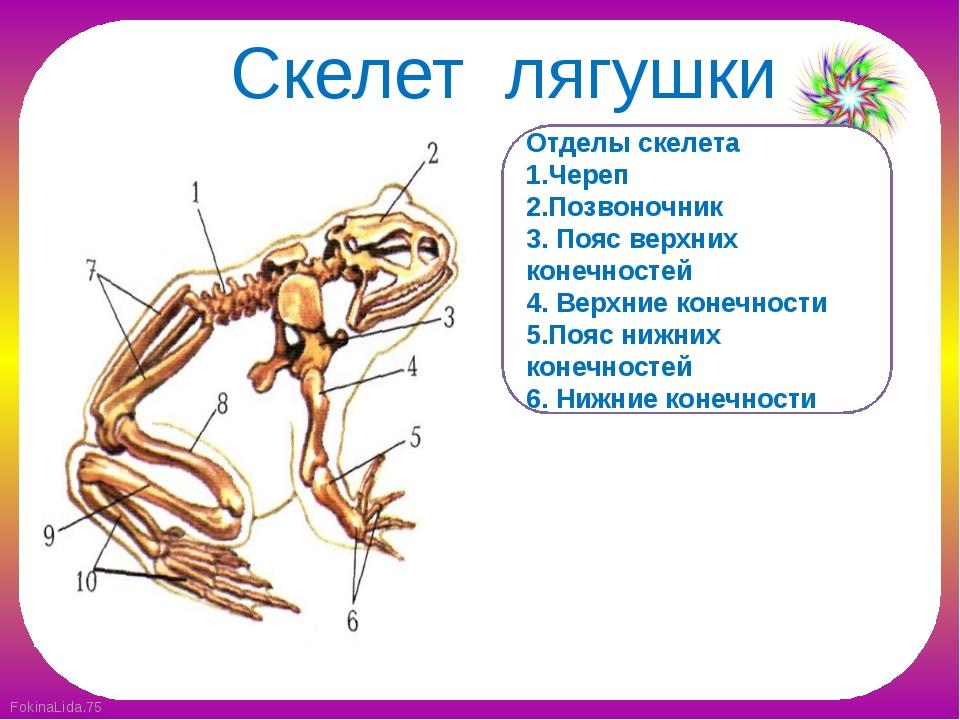 Скелет лягушки Отделы скелета 1.Череп 2.Позвоночник 3. Пояс верхних конечност...