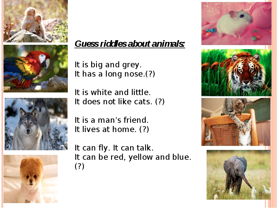 Guess riddles about animals: It is big and grey. It has a long nose.(?)   It...