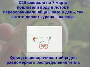 Курица переворачивает яйца для равномерного распределения тепла С18 февраля п