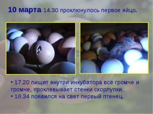 10 марта 14.30 проклюнулось первое яйцо. 17.20 пищит внутри инкубатора всё гр