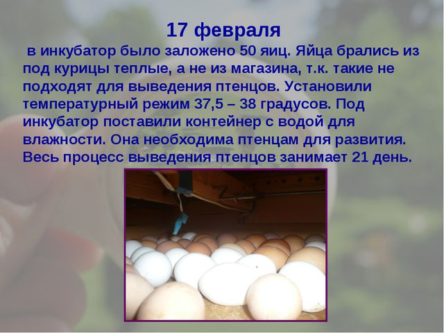 17 февраля в инкубатор было заложено 50 яиц. Яйца брались из под курицы теплы...