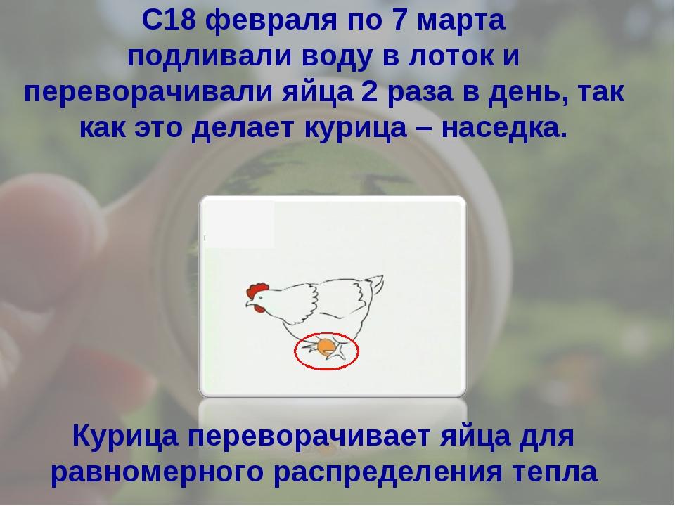 Курица переворачивает яйца для равномерного распределения тепла С18 февраля п...