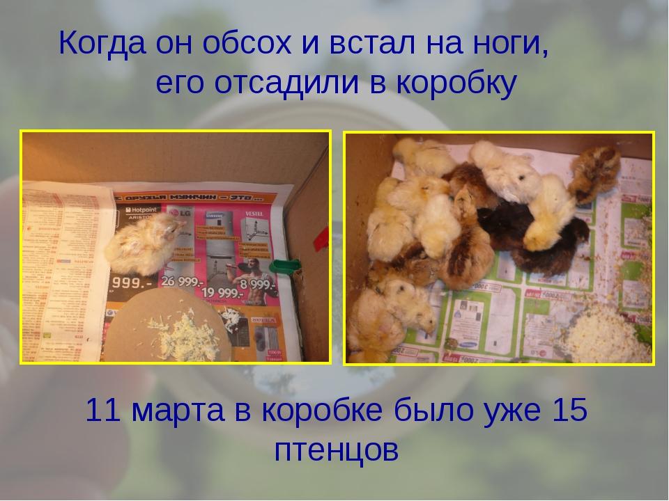 Когда он обсох и встал на ноги, его отсадили в коробку 11 марта в коробке был...