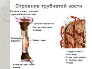Головка кости с суставной хрящевой поверхностью Губчатое вещество Костно – мо