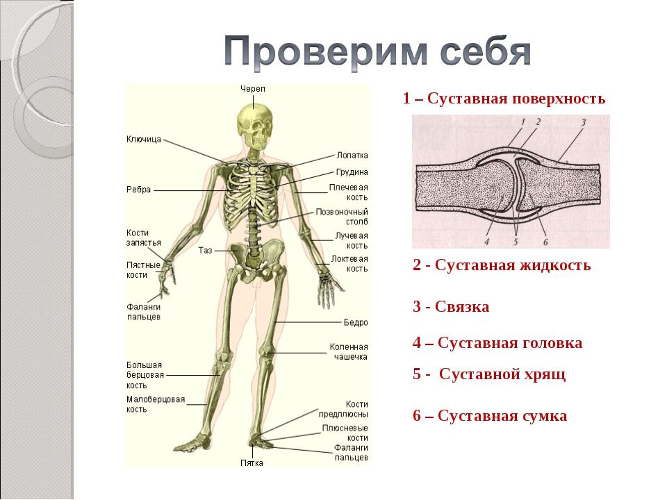 Суставная поверхность сустав большого пальца руки болит
