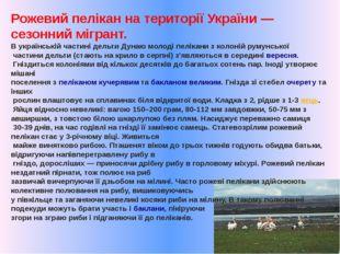 Рожевий пелікан на території України— сезонний мігрант. В українській частин
