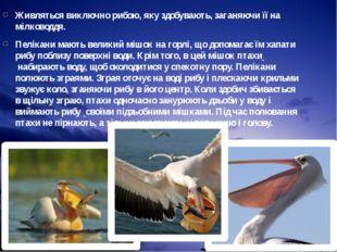 Живляться виключно рибою, яку здобувають, заганяючи її на мілководдя. Пелікан
