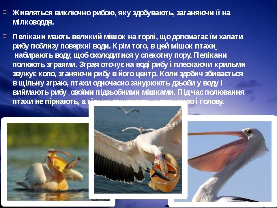 Живляться виключно рибою, яку здобувають, заганяючи її на мілководдя. Пелікан...