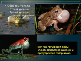 Вот так лягушки и жабы «поют» привлекая самочек и предупреждая соперников.