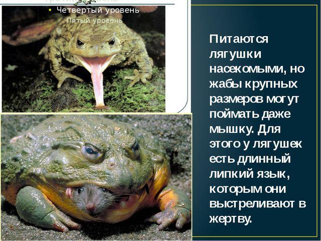 Питаются лягушки насекомыми, но жабы крупных размеров могут поймать даже мышк...