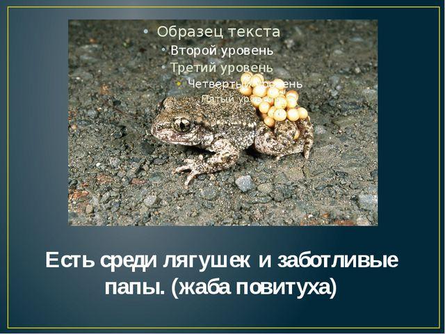 Есть среди лягушек и заботливые папы. (жаба повитуха)