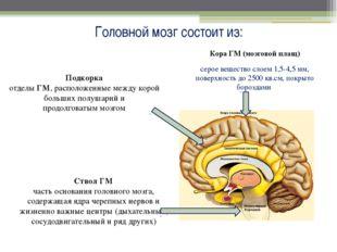 Головной мозг состоит из: Кора ГМ (мозговой плащ) серое вещество слоем 1,5-4,