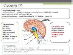 Строение ГМ Задний мозг: Мозжечок – координация произвольных движений Продолг