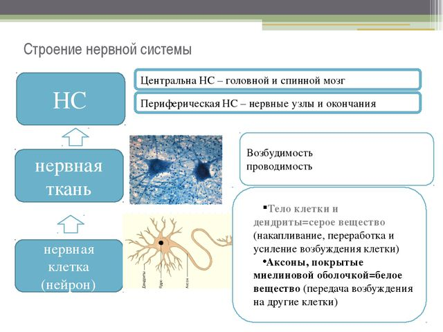 Строение нервной системы НС нервная ткань нервная клетка (нейрон) Тело клетки...