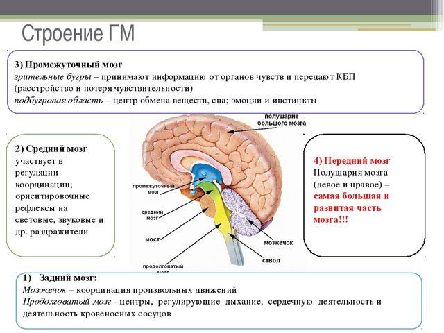 Строение ГМ Задний мозг: Мозжечок – координация произвольных движений Продолг...