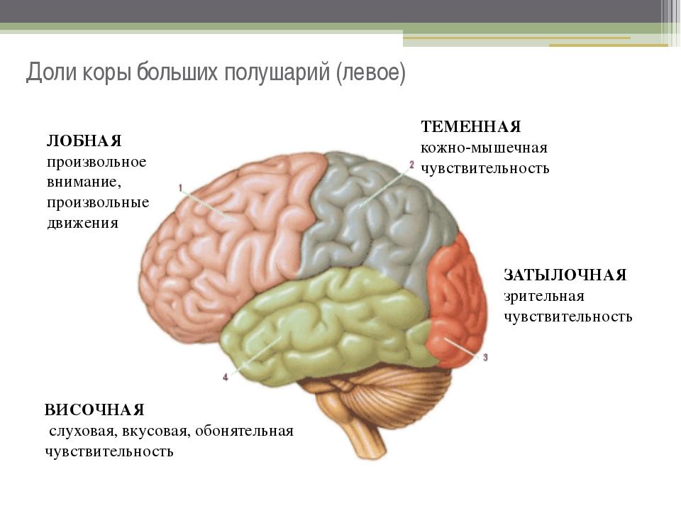 Доли коры больших полушарий (левое) ВИСОЧНАЯ слуховая, вкусовая, обонятельная...